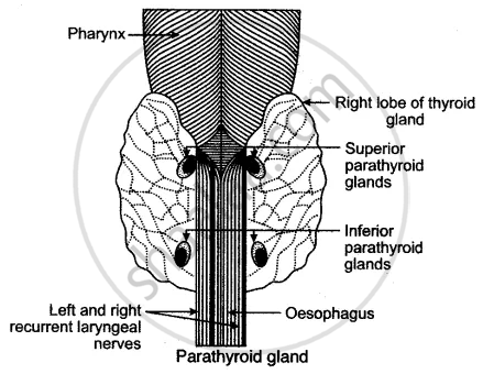 Give A Labeled Diagram Of Parathyroid Gland Biology Shaalaa Com