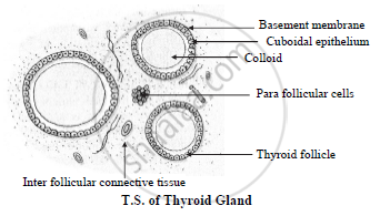 Describe The T S Of Thyroid Gland Biology Shaalaa Com