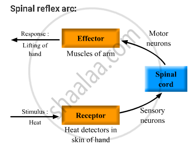 Solution For Define Reflex Arc Give The Flow Chart Of A Spinal
