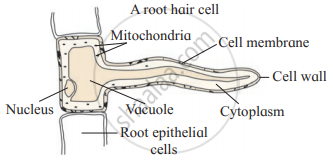 Long answer question. Describe structure of root hair ...