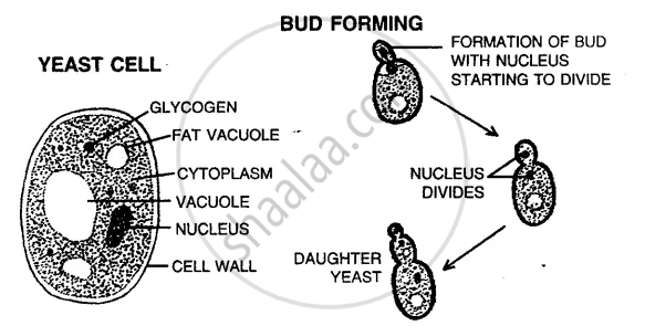 Solution For With The Help Of Suitable Diagram Describe Budding In