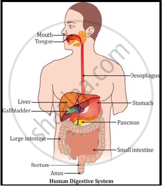 Name digestive system from mouth to anus