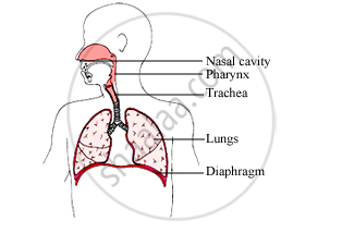Draw A Labelled Diagram Of The Human Respiratory System Science