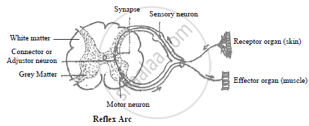simple reflex arc is formed of five components as given below: i  receptor  organ: it is a specialized part of body called sense organ that receives  the