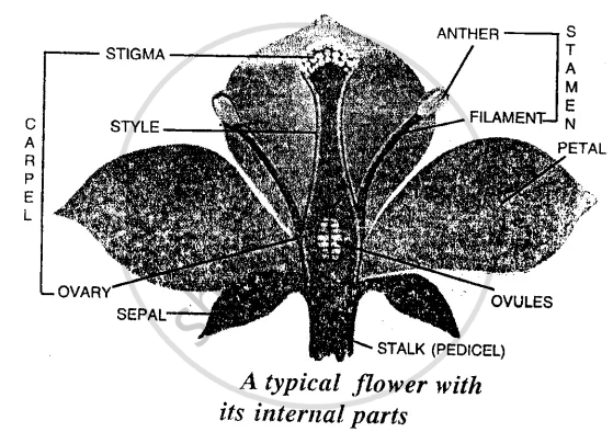Solution draw a labelled diagram of a bisexual flower icse solution ccuart Gallery