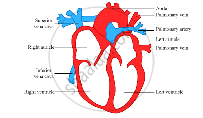 Draw a Diagram of the Human Heart and Label Its Parts ...
