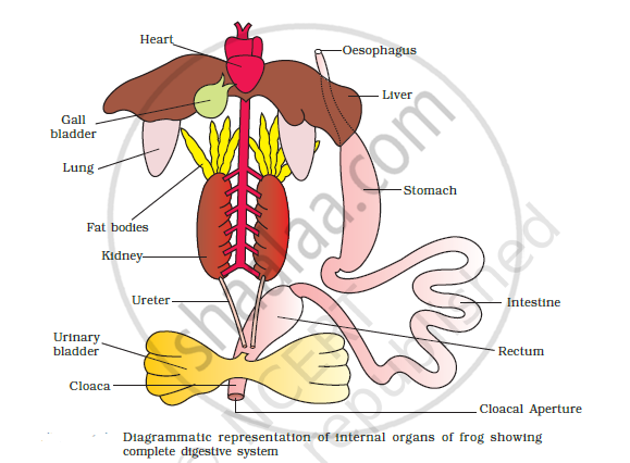Solution Draw A Neat Diagram Of Digestive System Of Frog Cbse