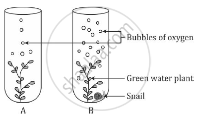 solution the diagram below shows two test tubes a and b test tube largest  sea snail blank snail diagram
