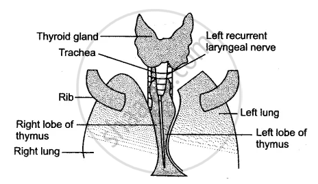 Give A Labeled Diagram Of Thymus Gland Biology Shaalaa Com