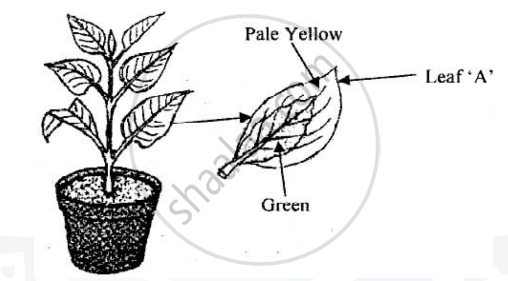 Solution a potted plant with variegated leaves was taken in order solution a potted plant with variegated leaves was taken in order to prove a factor necessary for photosynthesis the potted plant was kept in the dark ccuart
