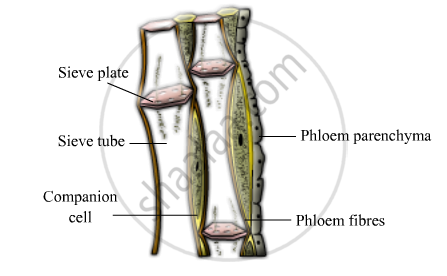 Solution For Draw A Labelled Diagram Of I A Xylem Vessel And Ii